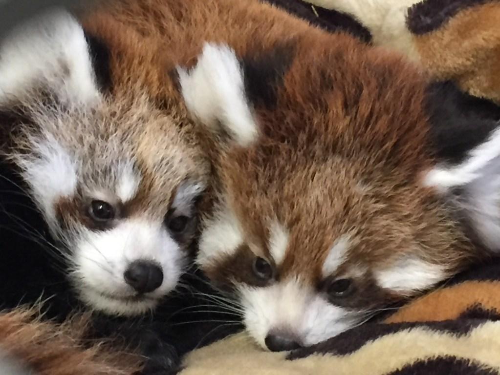 Die Roten Pandas Willow und Kola
