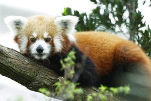 Red Panda Poonya Singapur