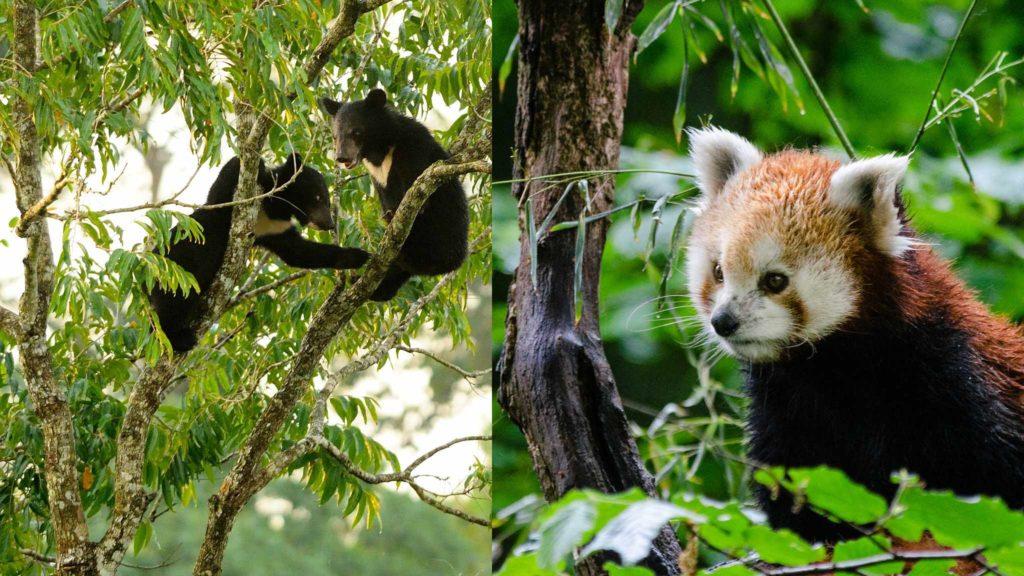 asian black bear red panda
