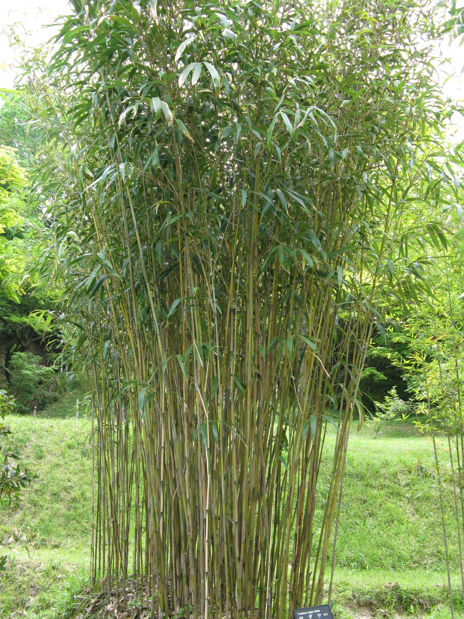Green Bamboo For Red Pandas