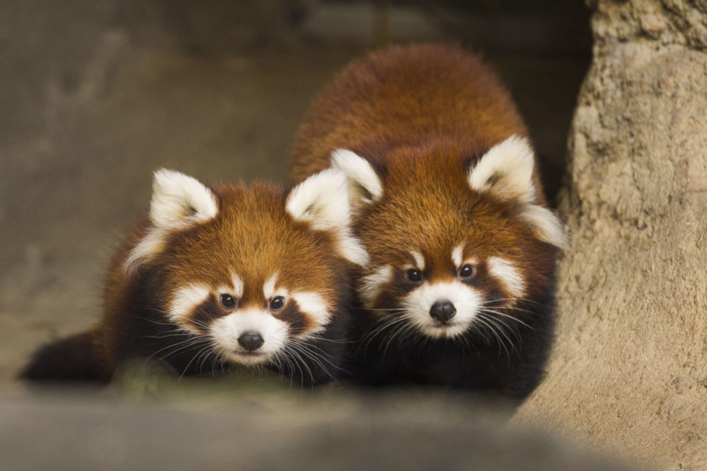 Red Panda Cubs Clark and Addison. Photo: Todd Rosenberg/Lincoln Park Zoo