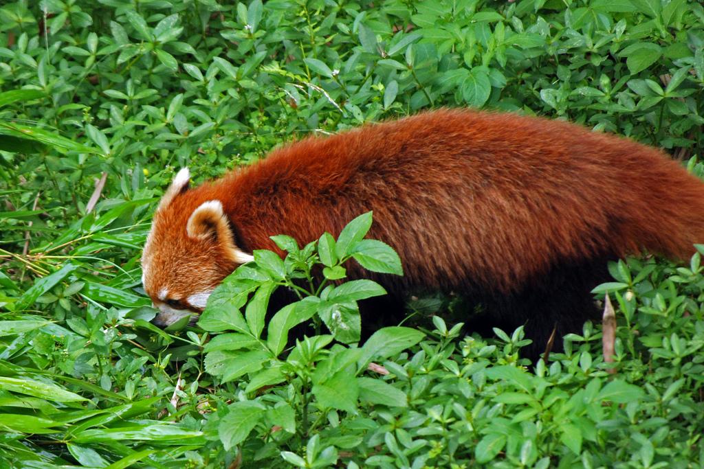 red panda fur photo