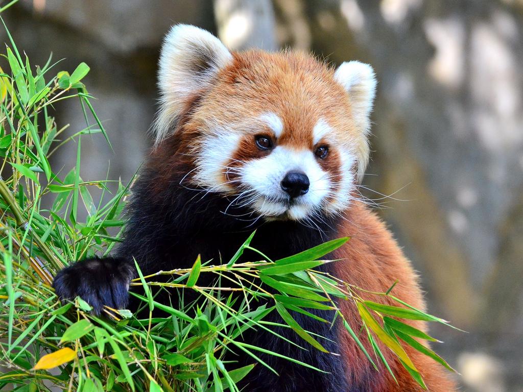 Roter Panda Ernährung Bambus