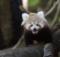 screenshot vorschaubild video melbourne zoo rote pandas