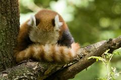 red panda hide photo