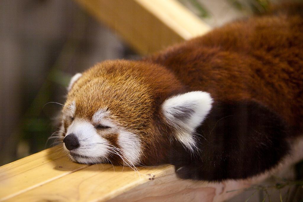 Pittsburgh Red Panda photo