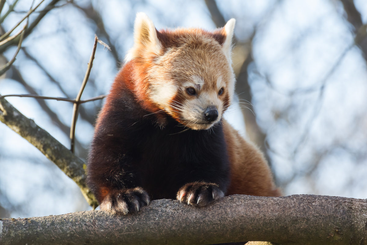 roter pandas tierpark hellabrunn