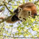 Red Pandas GaiaZOO