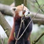 roter panda xia zoo salzburg
