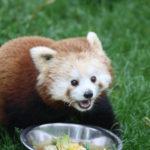 roter panda muki zoo salzburg