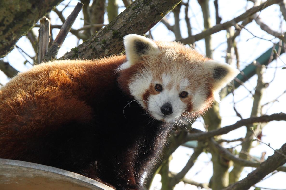 roter panda pim linzer zoo