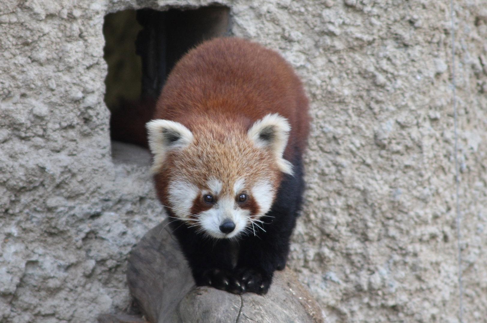 zoo salzburg roter panda xia