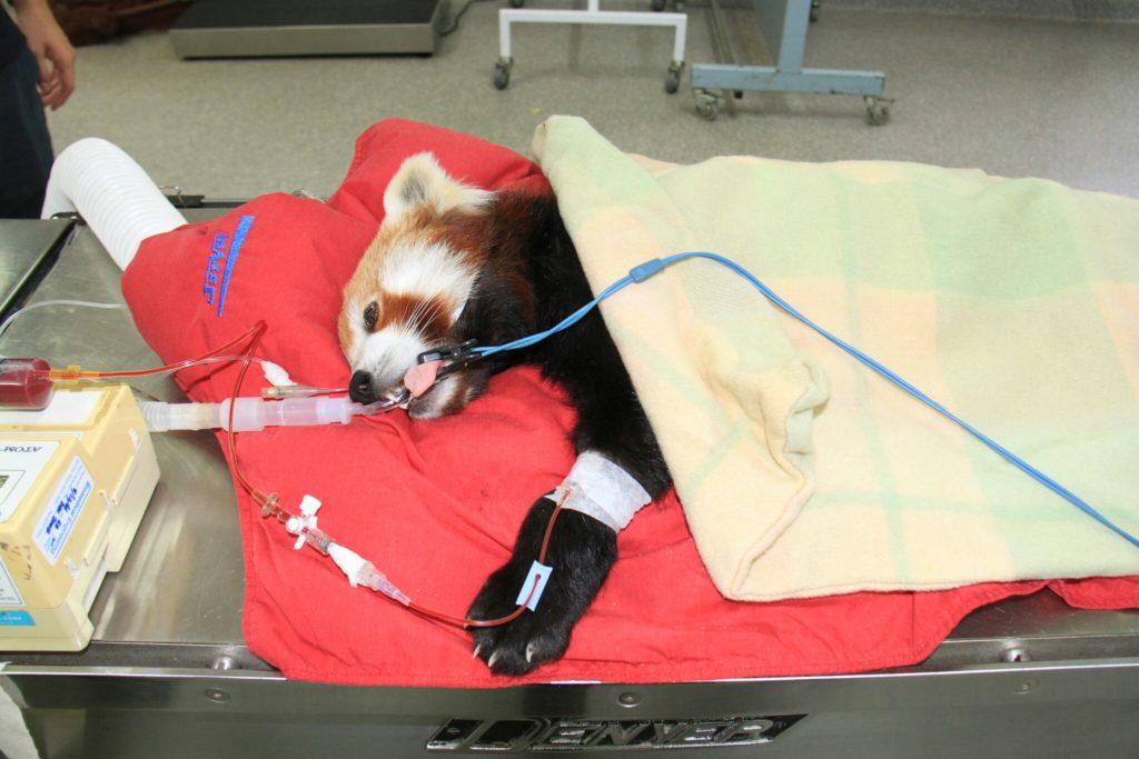 Pemba erhält die weltweit erste Bluttransfusion für einen Roten Panda. Foto: ZOOSSA