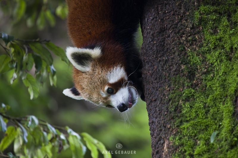 Red Panda (Ailurus fulgens), climbing, captive, India, Darjeeling