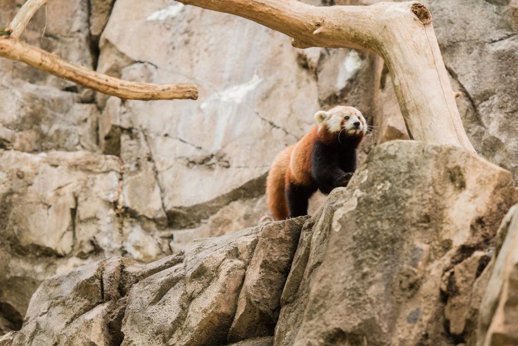 Female Red Panda AsaSmithsonian's National Zoo