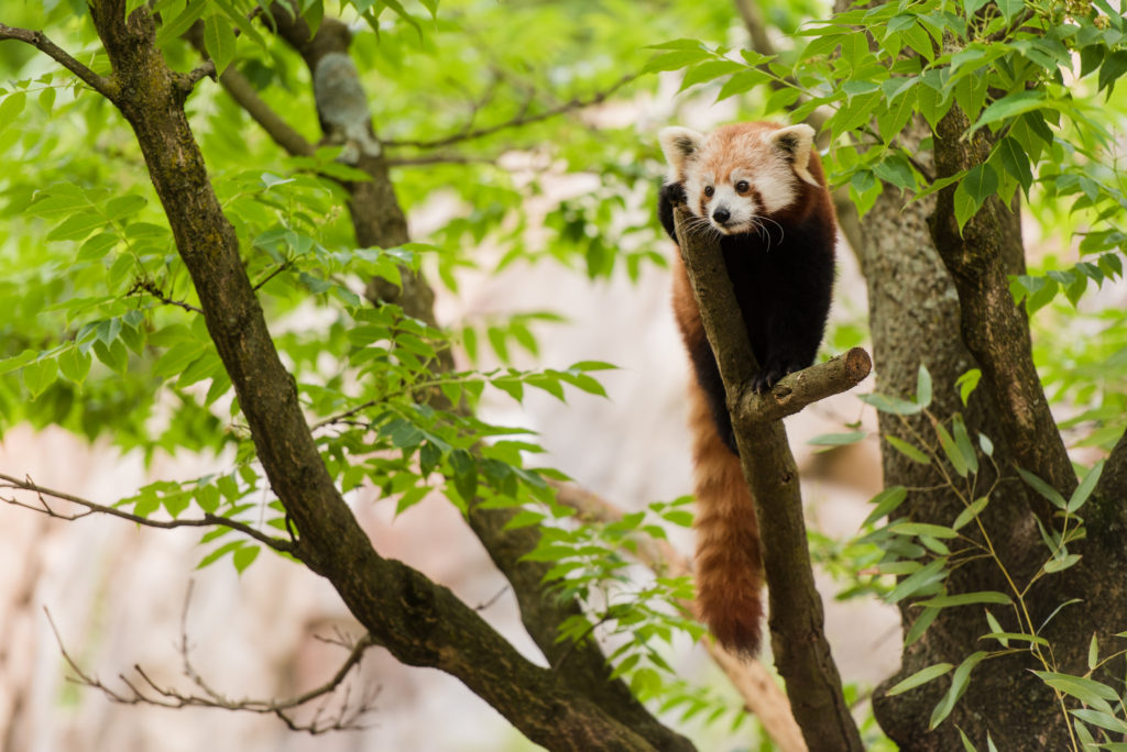 Female Red Panda Asa explores her habitat on Asia Trail. Photo: Adam Mason - Smithsonian's National Zoo - CC BY-NC-ND 2.0