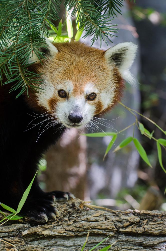 roter panda beckie sacramento zoo