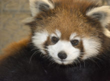 Red Panda Usha Greensboro Science Center