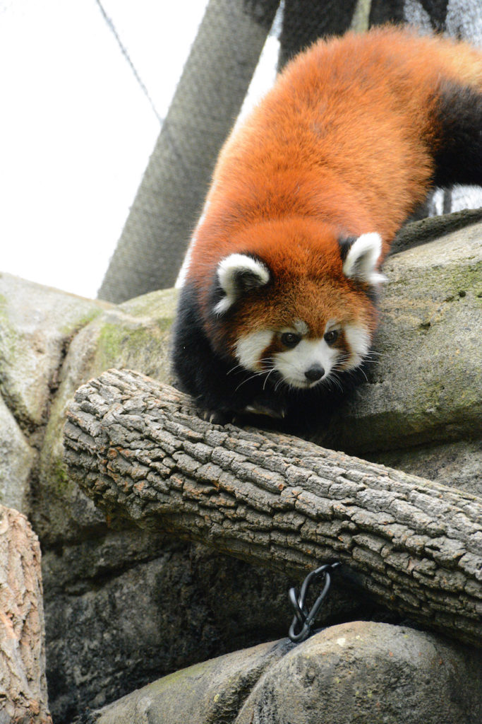 Red Panda Greensboro Science Center