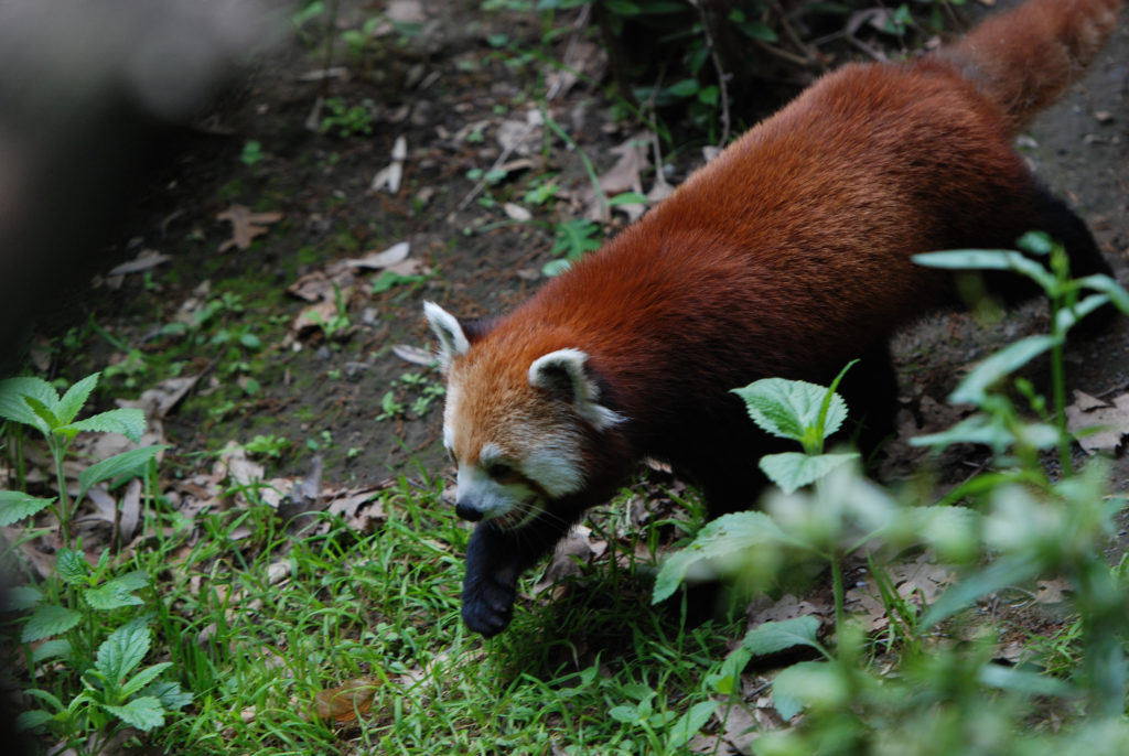 roter panda bronx zoo
