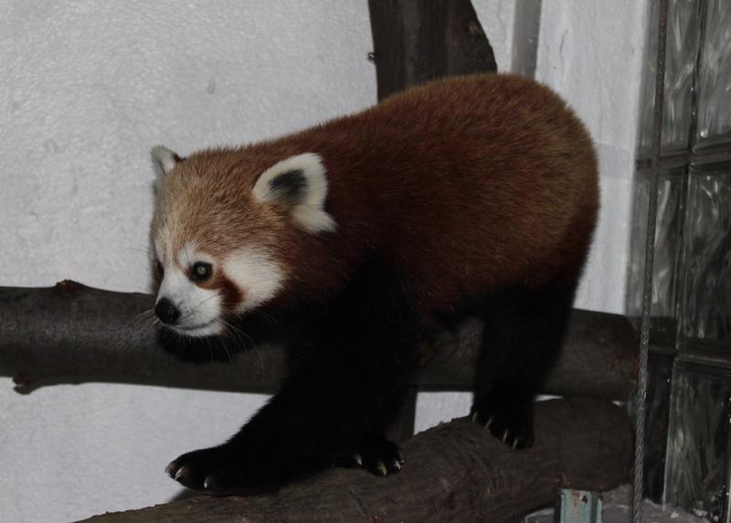 roter panda deshi zoo halle