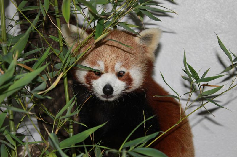 roter panda pang zoo halle
