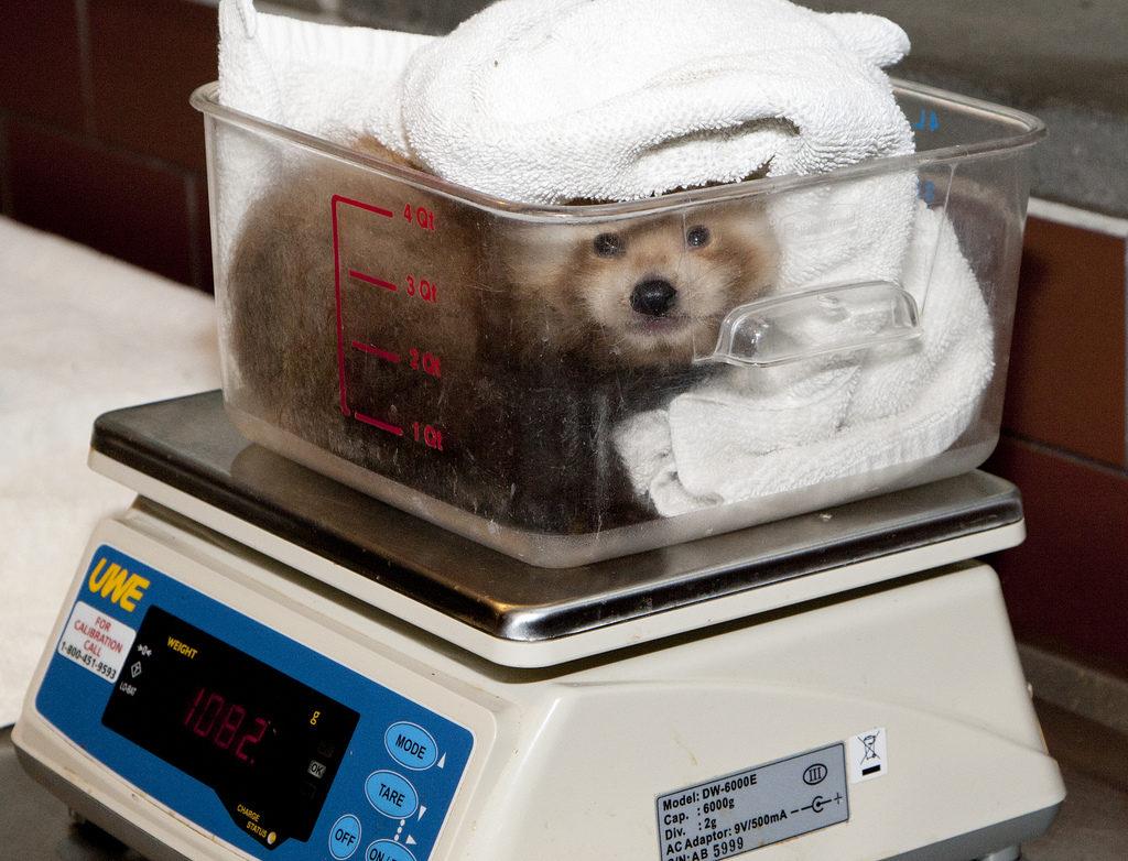 roter panda baby