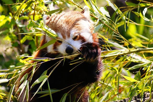 Roter Panda China Schutz