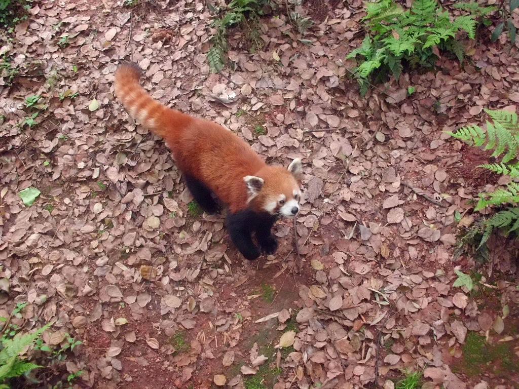 Roter Panda im Hangzhou Zoo