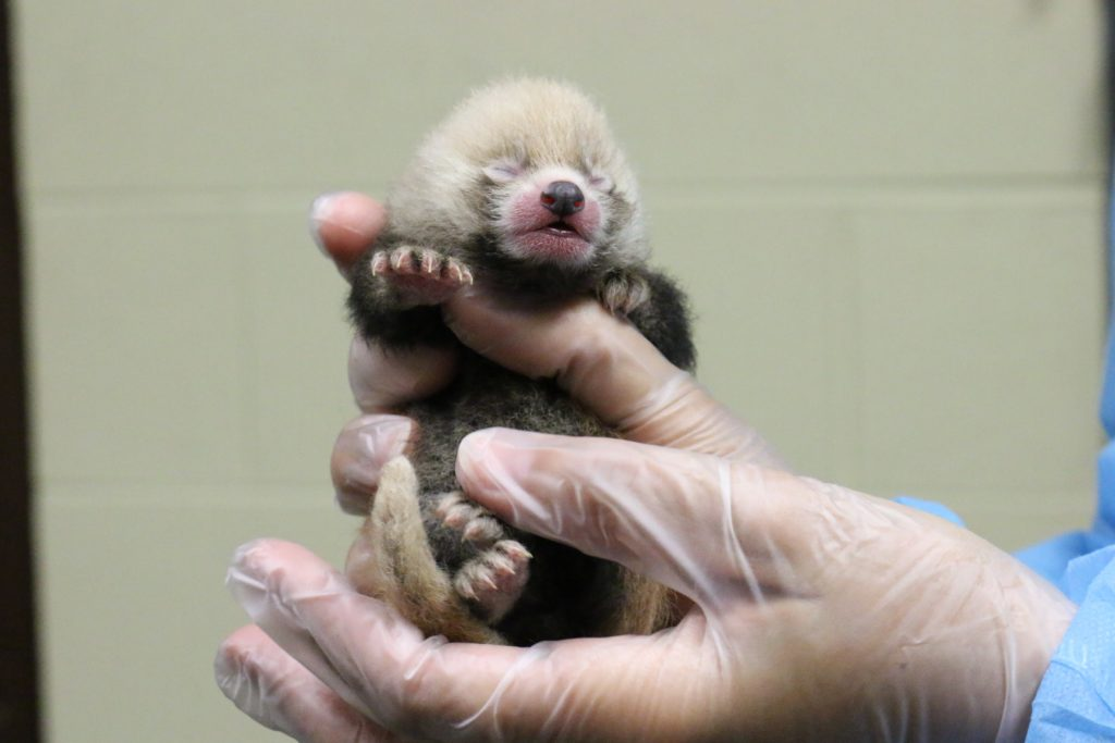 Red Panda Cubs Photo Chattanooga Zoo