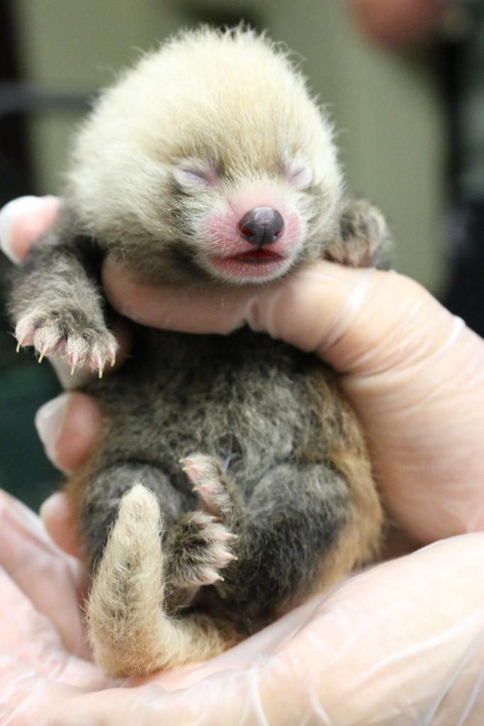 Red Panda Cub Photo Chattanooga Zoo