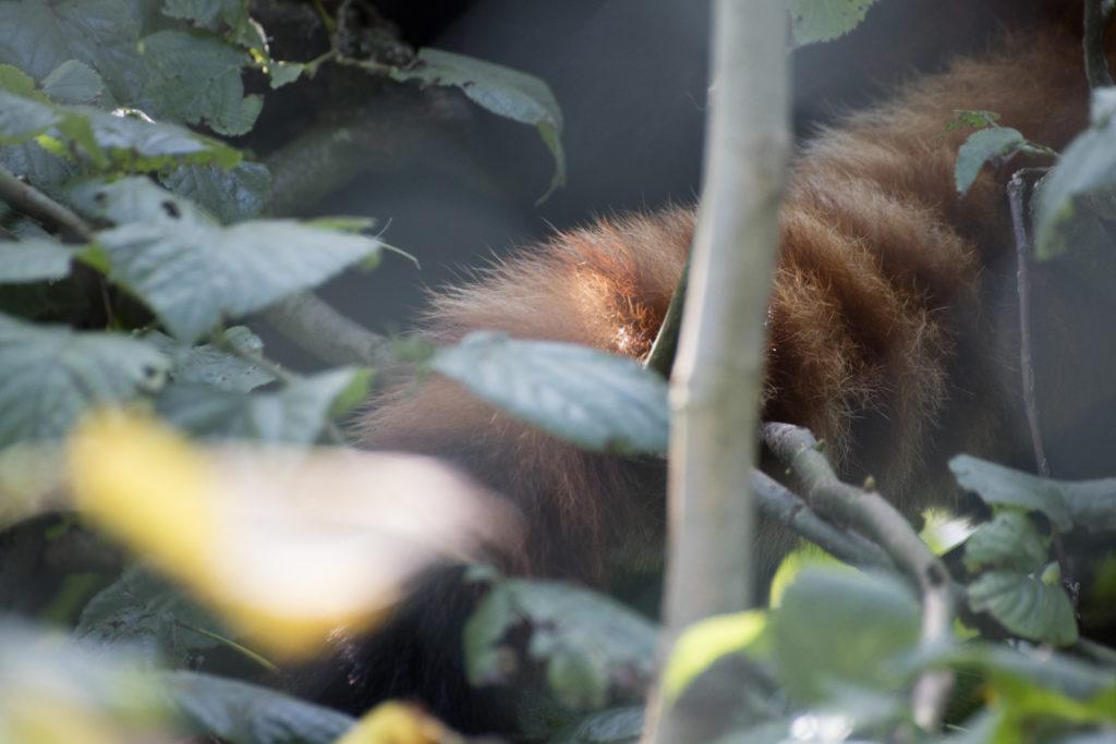 Roter Panda Fell