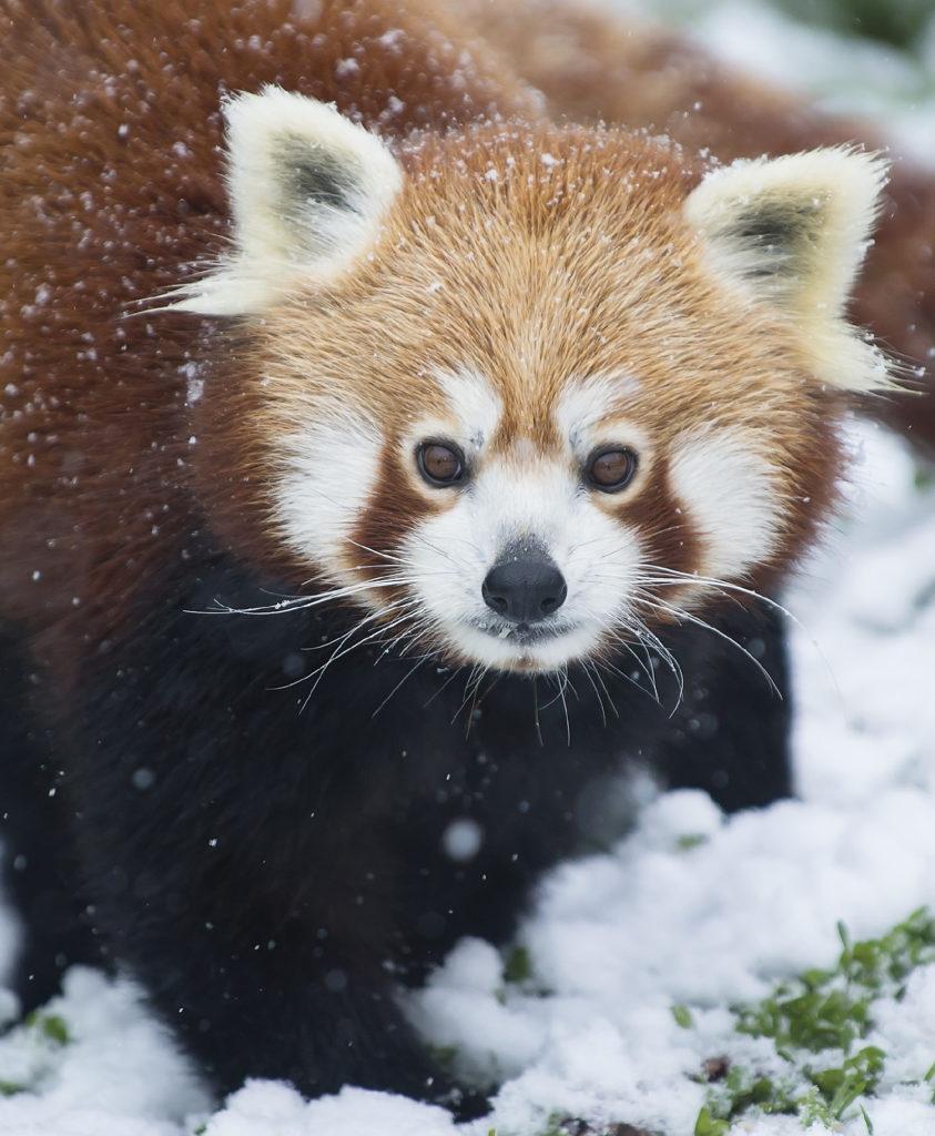 Roter Panda Daniel Zupanc
