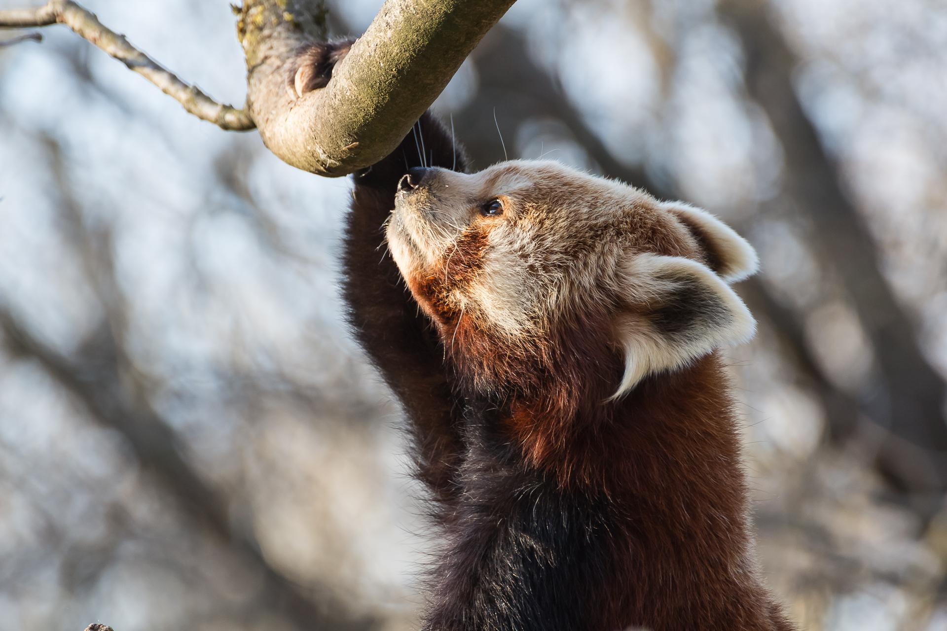 international red panda day photo juergen breitenbaumer 500px.com:juergenbr