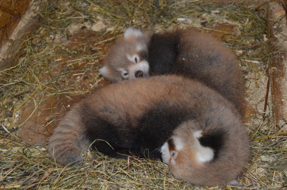 rote pandas zoo liberec