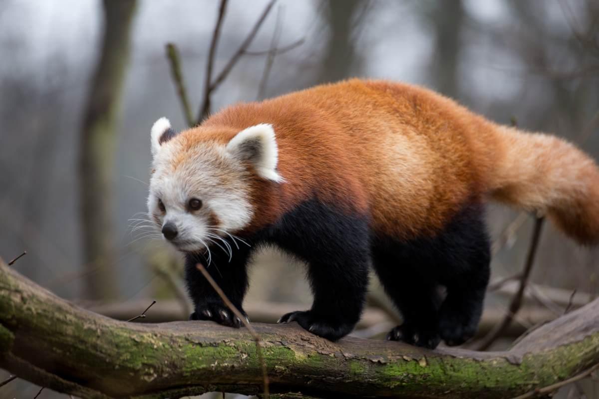 Tag des Roten Pandas