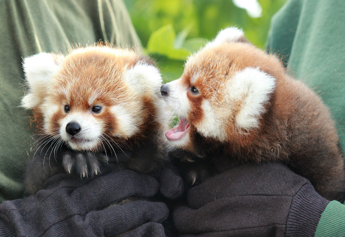 rosamond gifford zoo celebrates red panda day with two cubs red