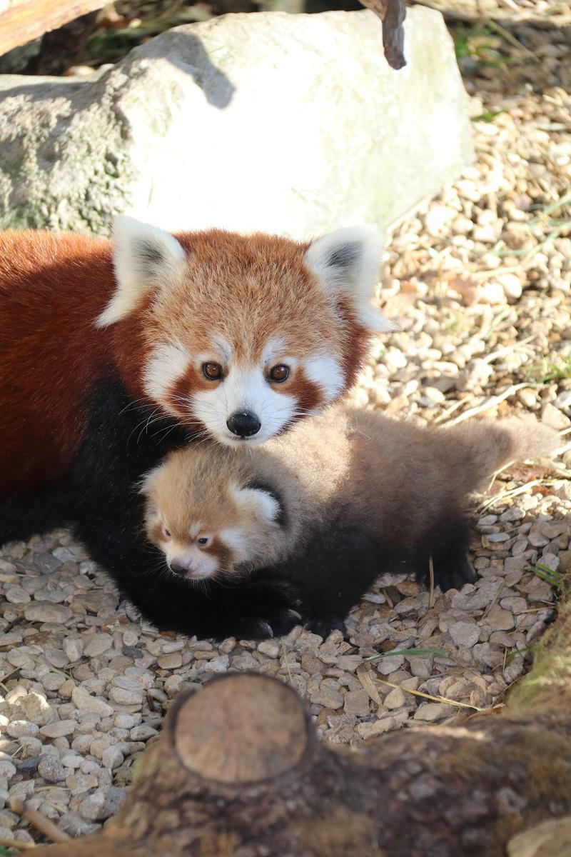 red-panda-twins-longleat-1