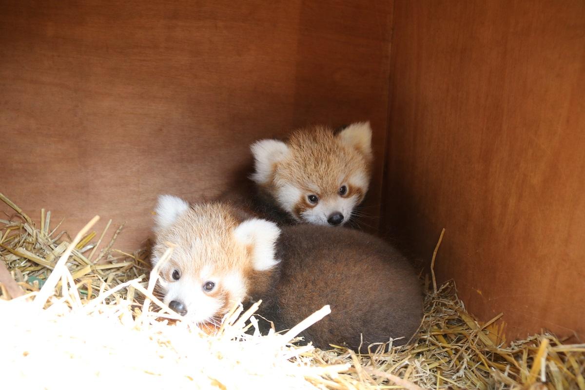 red panda twins longleat