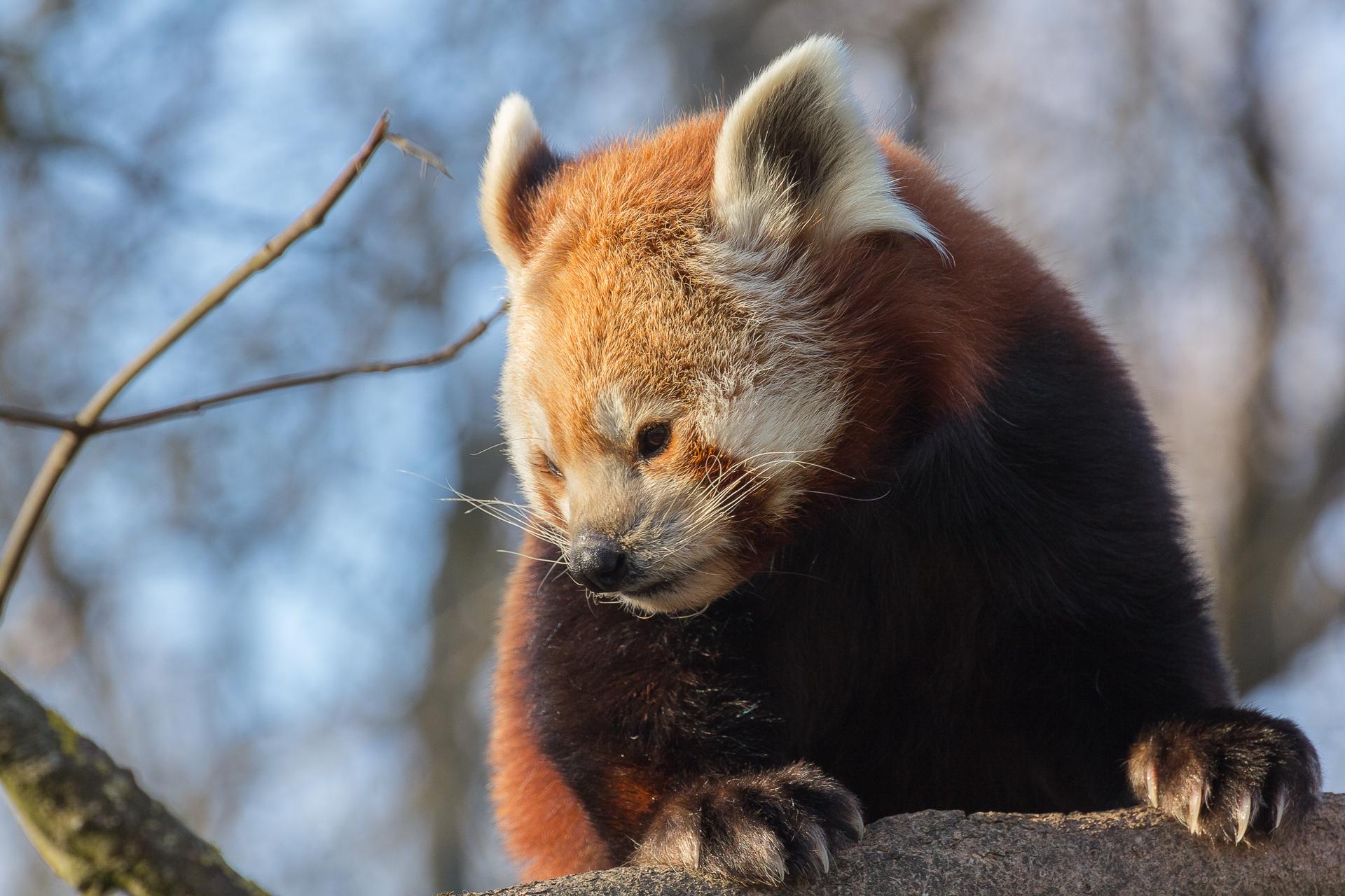 roter panda ying hellabrunn