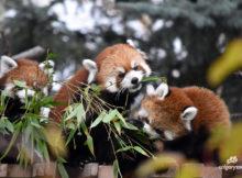 red panda twins calgary zoo