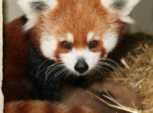 red panda maina chattanooga zoo