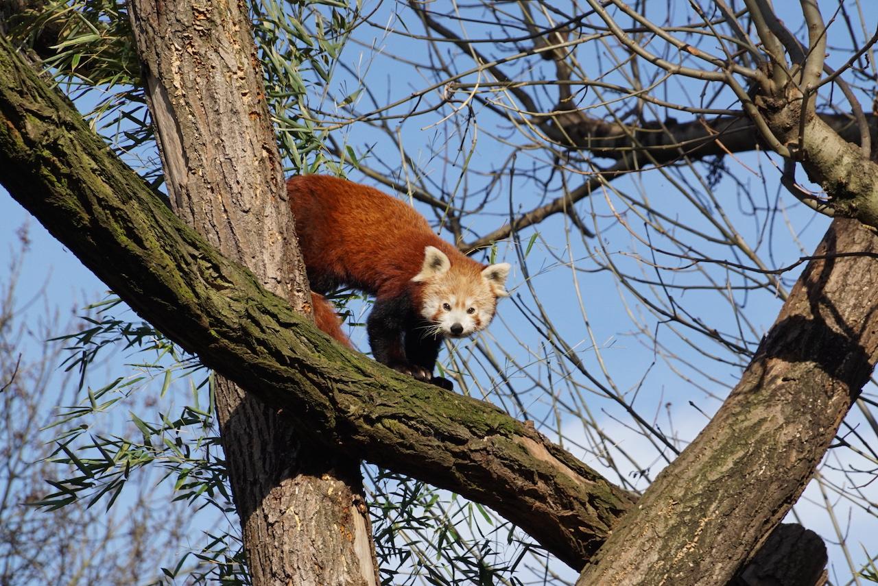 roter panda zoo dresden