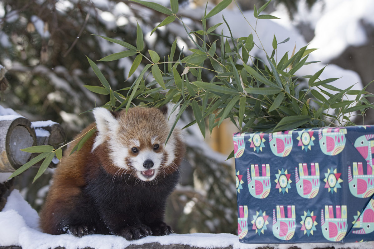 red panda christmas rosamond gifford zoo