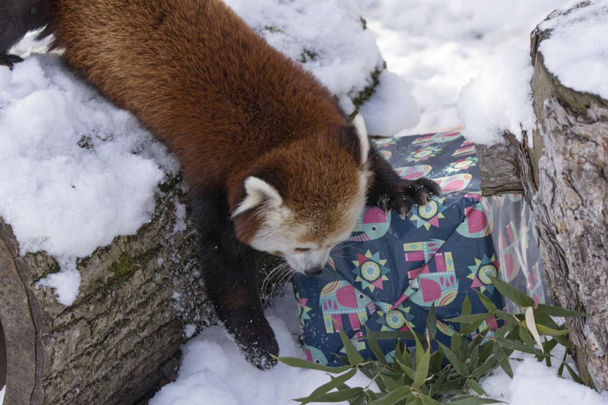 red pandas christmas
