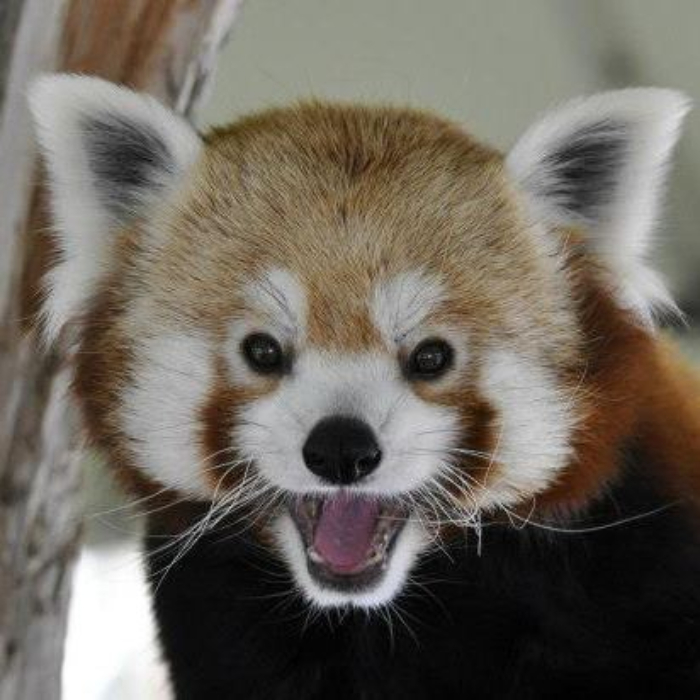 red panda damien pueblo zoo photo mike byers