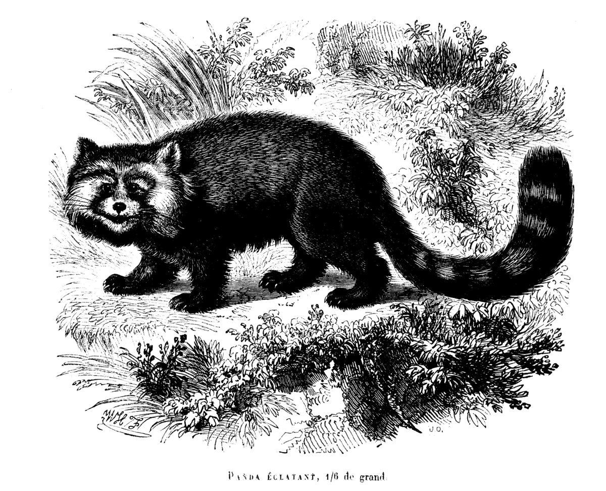 roter panda public domain