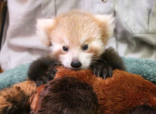 red panda taronga zoo photo paul fahy