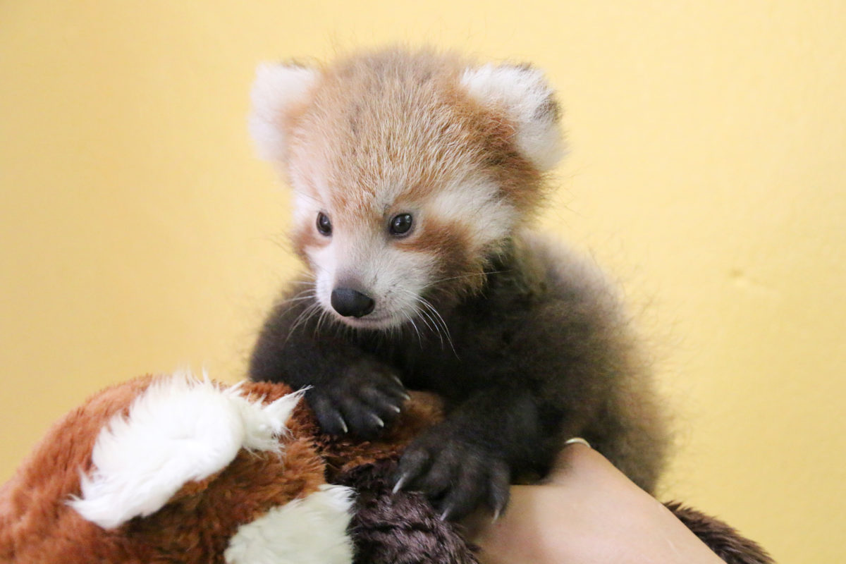 red panda maiya taronga zoo