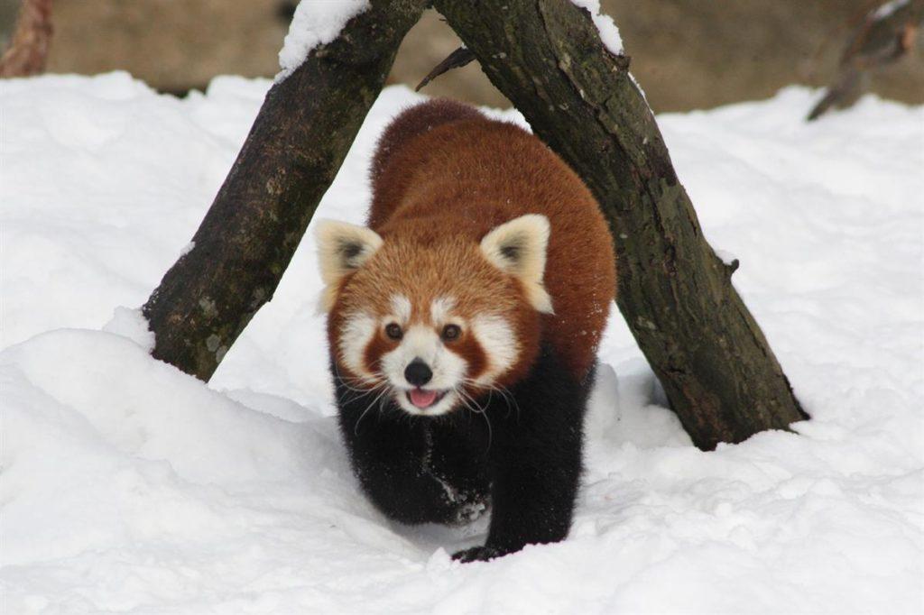 roter panda zoo salzburg spar patenschaft